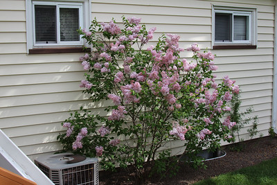 The Lilac tree in our back yard.