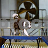 Excalibur competes at the Tyler Obedience Training Club USDAA Agility Trials at Texas Rose Horse Park in Tyler, Texas, on Friday, March 30, 2018. (Chelsea Purgahn/Tyler Morning Telegraph)