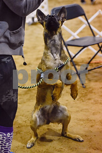 Zilla sits for a toy at the Tyler Obedience Training Club USDAA Agility Trials at Texas Rose Horse Park in Tyler, Texas, on Friday, March 30, 2018. (Chelsea Purgahn/Tyler Morning Telegraph)