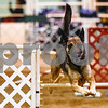 A dog competes at the Tyler Obedience Training Club USDAA Agility Trials at Texas Rose Horse Park in Tyler, Texas, on Friday, March 30, 2018. (Chelsea Purgahn/Tyler Morning Telegraph)