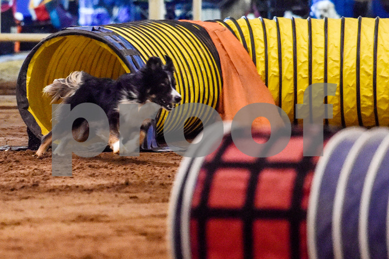 Ryker competes at the Tyler Obedience Training Club USDAA Agility Trials at Texas Rose Horse Park in Tyler, Texas, on Friday, March 30, 2018. (Chelsea Purgahn/Tyler Morning Telegraph)