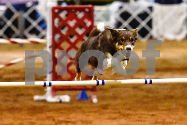 Creed competes at the Tyler Obedience Training Club USDAA Agility Trials at Texas Rose Horse Park in Tyler, Texas, on Friday, March 30, 2018. (Chelsea Purgahn/Tyler Morning Telegraph)