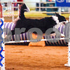 Braeden competes at the Tyler Obedience Training Club USDAA Agility Trials at Texas Rose Horse Park in Tyler, Texas, on Friday, March 30, 2018. (Chelsea Purgahn/Tyler Morning Telegraph)