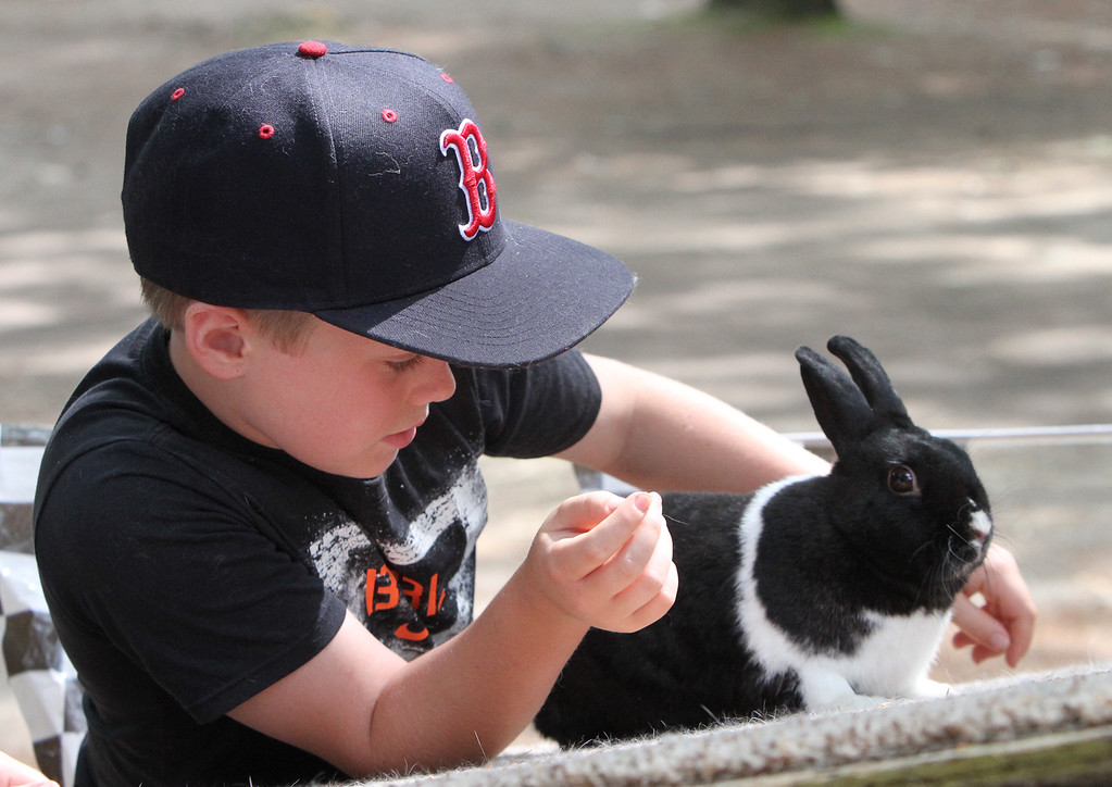 . Middlesex County 4-H Fair. Bobby Evans, 10, of Groton, with Papi, his Dutch-mini-rex rabbit, practicing on the rabbit racing ramp. (SUN/Julia Malakie)