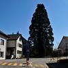 Mammutbaum in Oberrohrdorf
