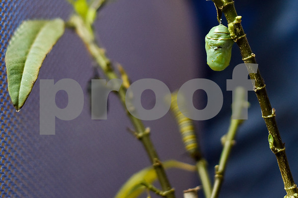 A monarch chrysalis is attached to the stem of a milkweed plant in Tyler, Texas, on Friday, April 28, 2017. Joel Enge has been raising butterflies as a hobby for 16 years and typically does a butterfly release each year with either his students or his church. (Chelsea Purgahn/Tyler Morning Telegraph)