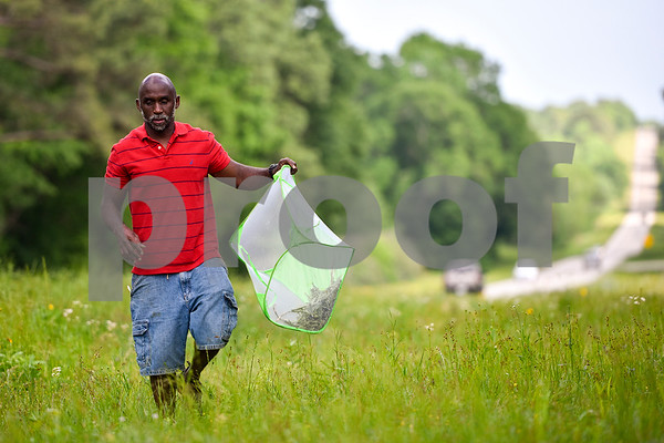 Joel Enge collects milkweed, monarch caterpillars and monarch caterpillar eggs in a mesh laundry basket on the side of a county road in Tyler, Texas, on Wednesday, April 19, 2017. Enge has been raising butterflies as a hobby for 16 years and typically does a butterfly release each year with either his students or his church. (Chelsea Purgahn/Tyler Morning Telegraph)