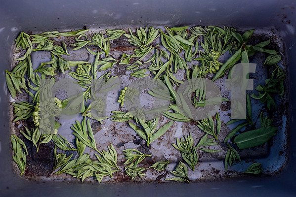 Milkweed blooms with caterpillar eggs attached sit in a plastic tub at Kingdom Life Academy's garden in Tyler, Texas, on Monday, April 17, 2017. Joel Enge has been raising butterflies as a hobby for 16 years and typically does a butterfly release each year with either his students or his church. (Chelsea Purgahn/Tyler Morning Telegraph)