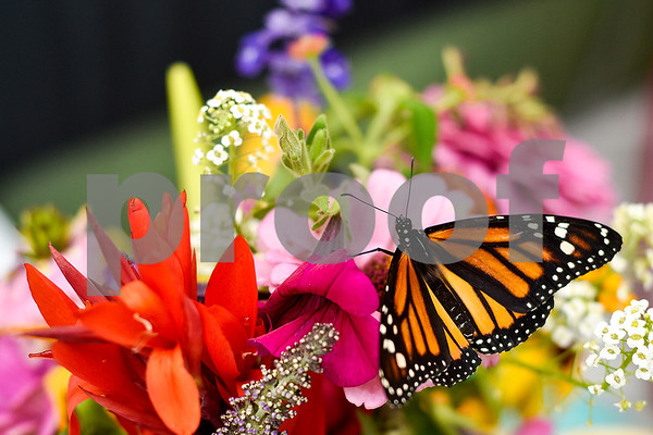 A monarch butterfly rests on flowers at Kingdom Life Academy's garden in Tyler, Texas on Friday, May 12, 2017. Joel Enge has been raising butterflies as a hobby for 16 years and typically does a butterfly release each year with either his students or his church. (Chelsea Purgahn/Tyler Morning Telegraph)