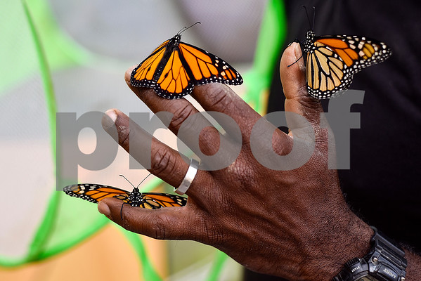 Monarch butterflies rest on Joel Inge's hand at Kingdom Life Academy's garden in Tyler, Texas, on Friday, May 12, 2017. Enge has been raising butterflies as a hobby for 16 years and typically does a butterfly release each year with either his students or his church. (Chelsea Purgahn/Tyler Morning Telegraph)
