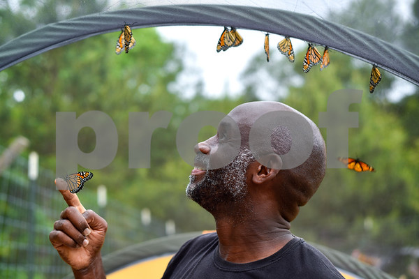Joel Enge poses for a portrait with monarch butterflies at Kingdom Life Academy's garden in Tyler, Texas, on Friday, May 12, 2017. Enge has been raising butterflies as a hobby for 16 years and typically does a butterfly release each year with either his students or his church. (Chelsea Purgahn/Tyler Morning Telegraph)