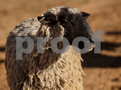 A lamb rests after the mutton bustin' competition at the Lindale Championship Rodeo on Thursday May 17, 2018.  (Sarah A. Miller/Tyler Morning Telegraph)