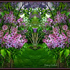 Week #18 - Our Lilacs in Mirror Image