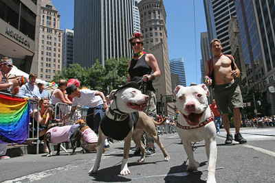 "Members from contingent, ""Bad Rap,"" a group of bay area dog lovers responsible about threir Pitt Bulls walk down the parade with their pooches.  The Theme of this yearÕs Pride Parade was, ÒPride Not Prejudice.Ó   The event, which has been running every year consecutively since 1972 under various names, was expected to reach 1 million attendees this year.  Hundreds of Parade contingents paraded 9 blocks down Market Street from Beale St to 8th street.  Contingents ranged from corporate sponsors, to regional ethnic dance groups and everything in between, all in support of the Gay, Lesbian and Transgender community.  Even SF Mayor Gavin Newsom had his own contingent in the parade as he jogged along shaking hands with people in the public."