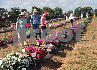 People look at hundreds of varieties of plants and use flags to mark their favorites during the East Texas Horticultural Field Day place held at the Texas A&M AgriLife Research and Extension Center's East Farm in Overton, Texas on Thursday June 28, 2018. Since 1993 the event has been held to showcase hundreds of varieties of ornamental plants and also vegetables testing how they grow from seeds under East Texas conditions.  (Sarah A. Miller/Tyler Morning Telegraph)