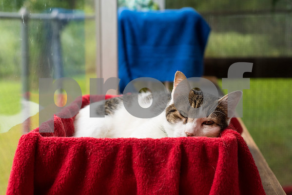 A cat lounges in a bed at The Humane Society's Pets Fur People in Tyler, Texas, on Friday, Aug. 18, 2017. A few dogs at the shelter are being featured in the Dogs Days of Summer program, an effort to find long-time shelter dogs a loving home. (Chelsea Purgahn/Tyler Morning Telegraph)