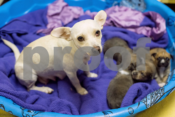 Quincy and her three-week old puppies sit in a bed at The Humane Society's Pets Fur People in Tyler, Texas, on Friday, Aug. 18, 2017. A few dogs at the shelter are being featured in the Dogs Days of Summer program, an effort to find long-time shelter dogs a loving home. (Chelsea Purgahn/Tyler Morning Telegraph)