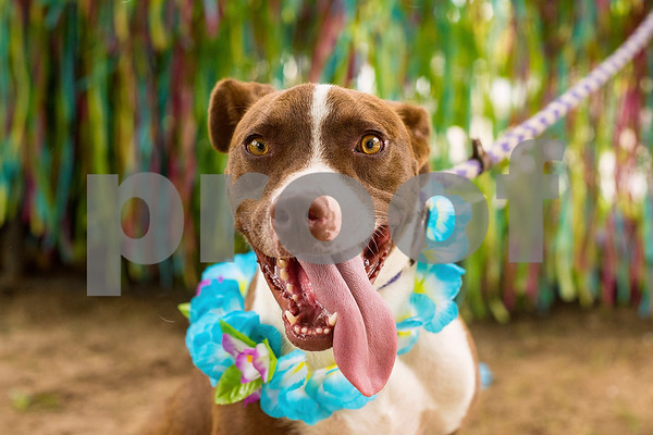 Bogie, 1 1/2, poses for a portrait at The Humane Society's Pets Fur People in Tyler, Texas, on Friday, Aug. 18, 2017. Bogie is one of a few dogs featured in the Dogs Days of Summer program, an effort to find long-time shelter dogs a loving home. (Chelsea Purgahn/Tyler Morning Telegraph)