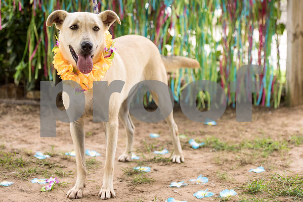 Bonnie, 1, poses for a portrait at The Humane Society's Pets Fur People in Tyler, Texas, on Friday, Aug. 18, 2017. Bonnie is one of a few dogs featured in the Dogs Days of Summer program, an effort to find long-time shelter dogs a loving home. (Chelsea Purgahn/Tyler Morning Telegraph)