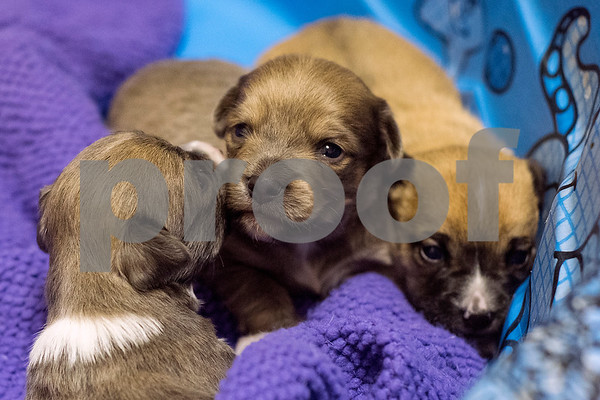 Three-week old puppies are relax at The Humane Society's Pets Fur People in Tyler, Texas, on Friday, Aug. 18, 2017. A few dogs at the shelter are being featured in the Dogs Days of Summer program, an effort to find long-time shelter dogs a loving home. (Chelsea Purgahn/Tyler Morning Telegraph)