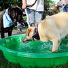 John P. Cleary | The Herald Bulletin<br /> Madison County's first American Cancer Society Bark For Life event had small pools of water around the park for the dogs to drink from. Here Oliver, right, decided getting into the water was the best was to get a drink as Jack waits his turn.