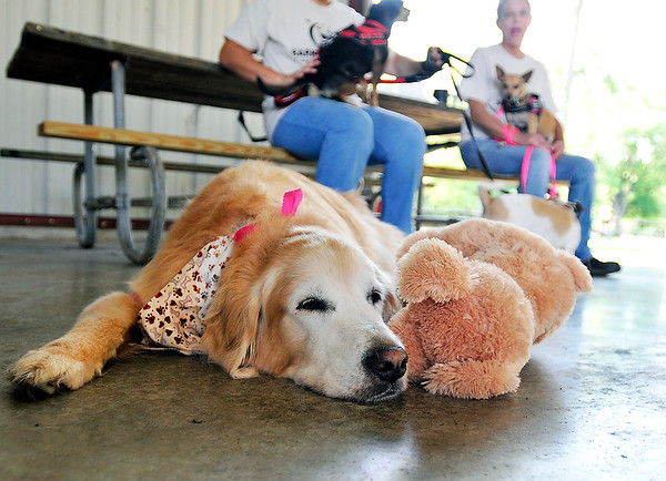 John P. Cleary   The Herald Bulletin<br /> Raising money to help fight cancer can be tiresome for a K9 so Lile decided a little nap was in order with her favorite toy during the American Cancer Society Bark For Life event held at Beulah Park in Alexandria.