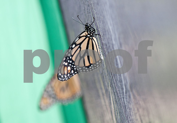 photo by Sarah A. Miller/Tyler Morning Telegraph  A butterfly rests on the lining of a tent before the start of the Alzheimer's Alliance of Smith County's first ever butterfly release event at the Tyler Rose Garden Thursday.  The public was invited to make a donation of 25 dollars each per butterfly.  Over 1,100 butterflies were released to honor and commemorate lives touched by Alzheimer's disease and other dementias in Smith County.