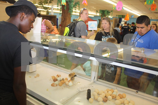 Students from West Rusk ISD observe baby chickens hatching from eggs at the East Texas State Fair.