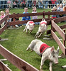 Fabulous racing pigs from Kenai