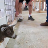 Record-Eagle/Douglas Tesner<br /> Goats look for some attention from fair goers at one of the 4-H displays.