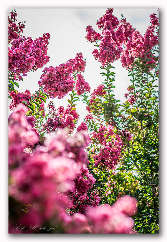 Day 26, Indian Summer Crepe Myrtle Lipan Crepe Myrtle Tree (Lavender)