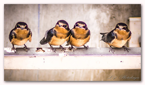 Juvenile Cliff Swallows, San Bernardino, California