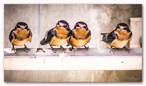 Juvenile Cliff Swallows, San Bernardino, California