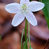 Debbie Blank | The Herald-Tribune<br /> The spring beauty wildflower (Claytonia virginica) is one of the most common native perennials in eastern North America. With a star-like cluster of five white to light pink petals, the beauty has a pleasant floral fragrance, according to The Nature Conservancy.