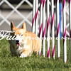 Agility ARC Nationals May 14 2017MelissaFaithKnightFaithPhotographyNV_2487