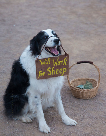 Dog_ will work for sheep 8816