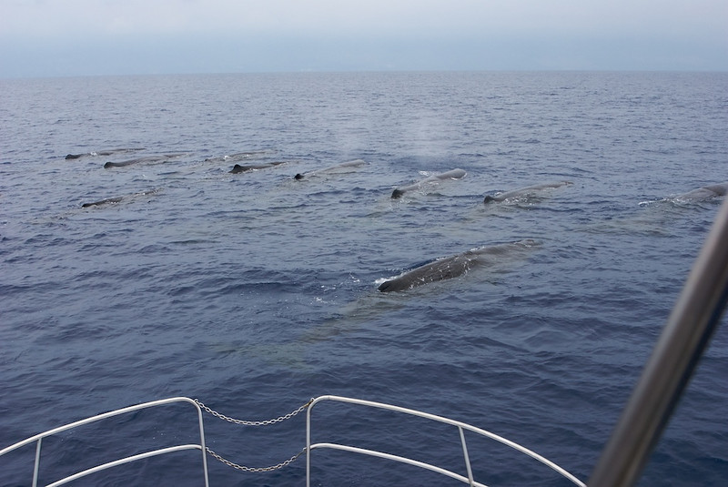 Pod of Sperm Whales