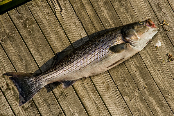 Striped Bass 38 lbs. ,Longwharf  Marina, Newport, R.I.