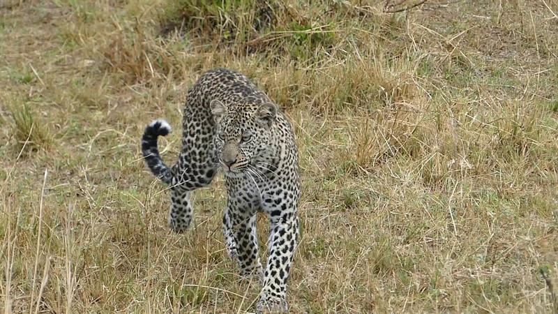 007 Leopard 001