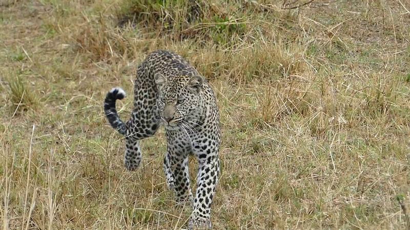 008 Leopard 002