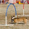 13 12-15 Agility dogs 2862