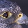 Hawk Eye Reflection