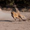 See the Cheetah Run
