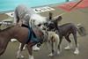 Dog Splash 2012_2012_08_26_9167