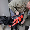 Record-Eagle/Jan-Michael Stump<br /> Jeff LaCross puts a flotation device on Nelli, a newfoundland mix recovering from ACL surgery, before an underwater treadmill session with veterinary technician Erin Cox at Long Lake Animal Hospital's new Animal Rehabilitation Center of Northern Michigan. The center features a number of methods of care for animals' injuries, from laser treatments to an underwater treadmill.