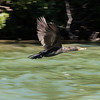 Cormorants are good fishers but slow to take off