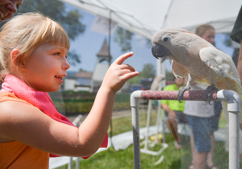 Justin Sheely | The Sheridan Press<br /> Six-year-old Zoe Mikesell takes a closer look at an Umbrella Cockatoo during the 40th annual Dayton Days Saturday in the town of Dayton. The bird is a rescue currently up for adoption by Central Wyoming Aviary –a nonprofit that rescues pet birds. The upper-ninety-degree weather did not stop Tongue River Valley residents from enjoying the day's festivities, including knocker ball, human foosball, duck races and the firemen's water fight.