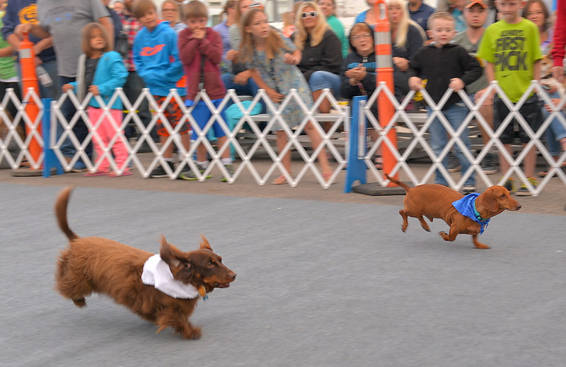 "Justin Sheely | The Sheridan Press<br /> Spunky, left, and Oscar compete in the final race for ""Top Dog"" honors during Muddy Paw Prints' annual Wiener Dog Races Tuesday evening at Blacktooth Brewing Company."