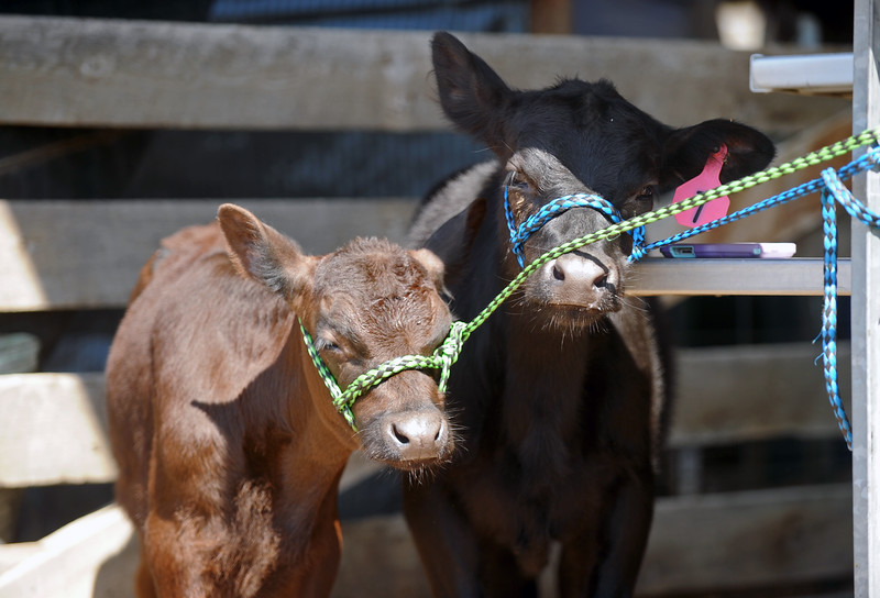 A pair of calves tries to squeeze into the shade at the Sheridan County Fair on Saturday, August 6 at the Sheridan County Fairgrounds. Mike Pruden | The Sheridan Press