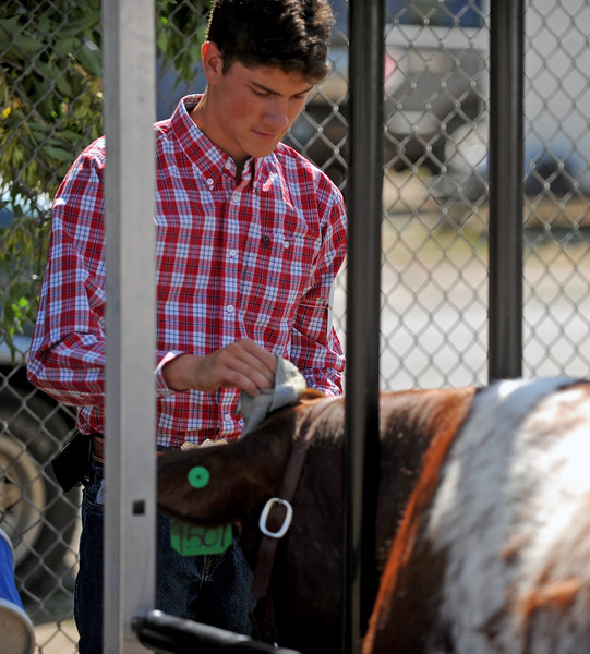 Eighteen-year-old Paden Koltiska wipes down the head of his cow at the Sheridan County Fair on Saturday, August 6 at the Sheridan County Fairgrounds. Mike Pruden | The Sheridan Press